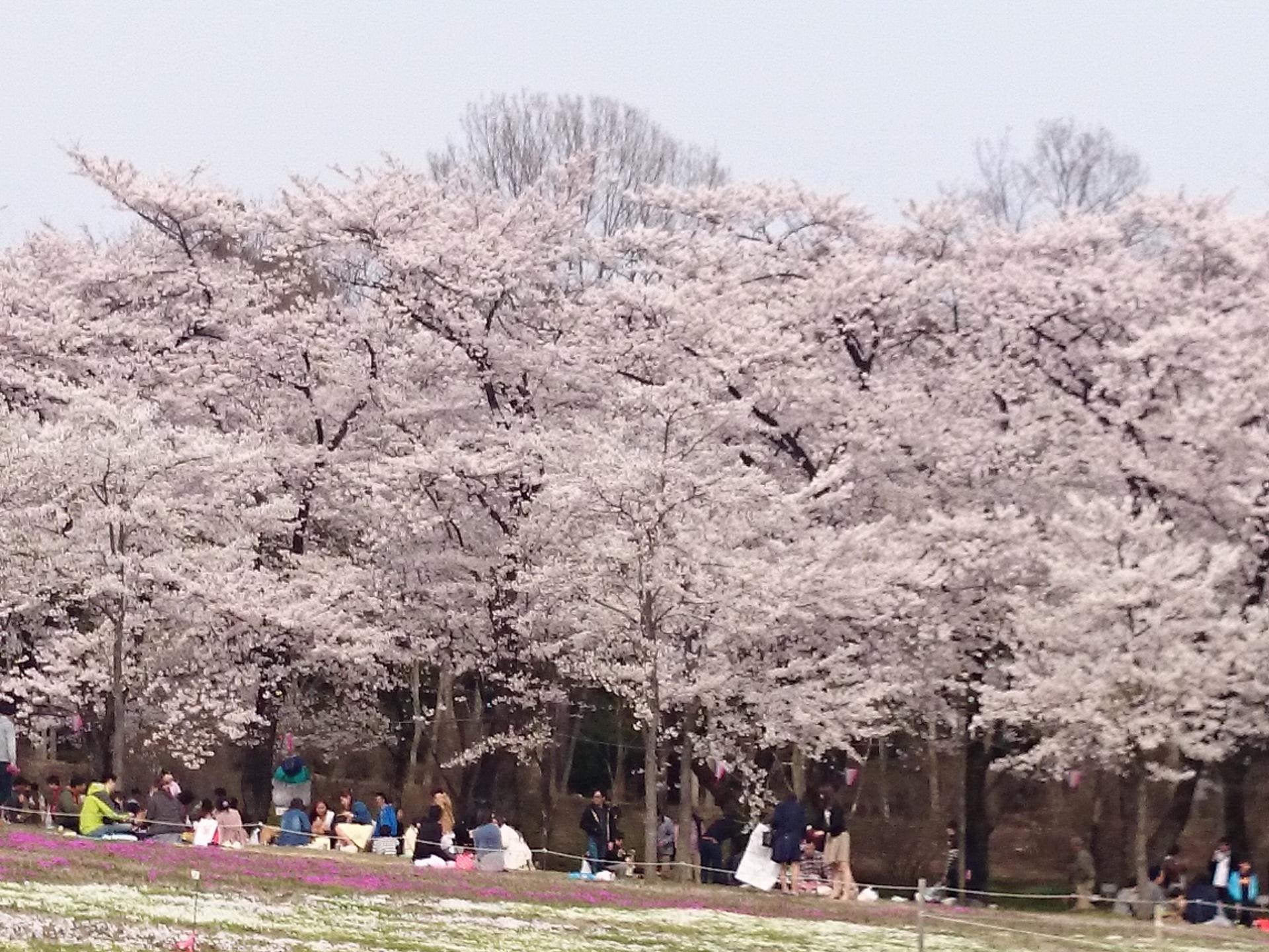 2赤城千本桜.JPG