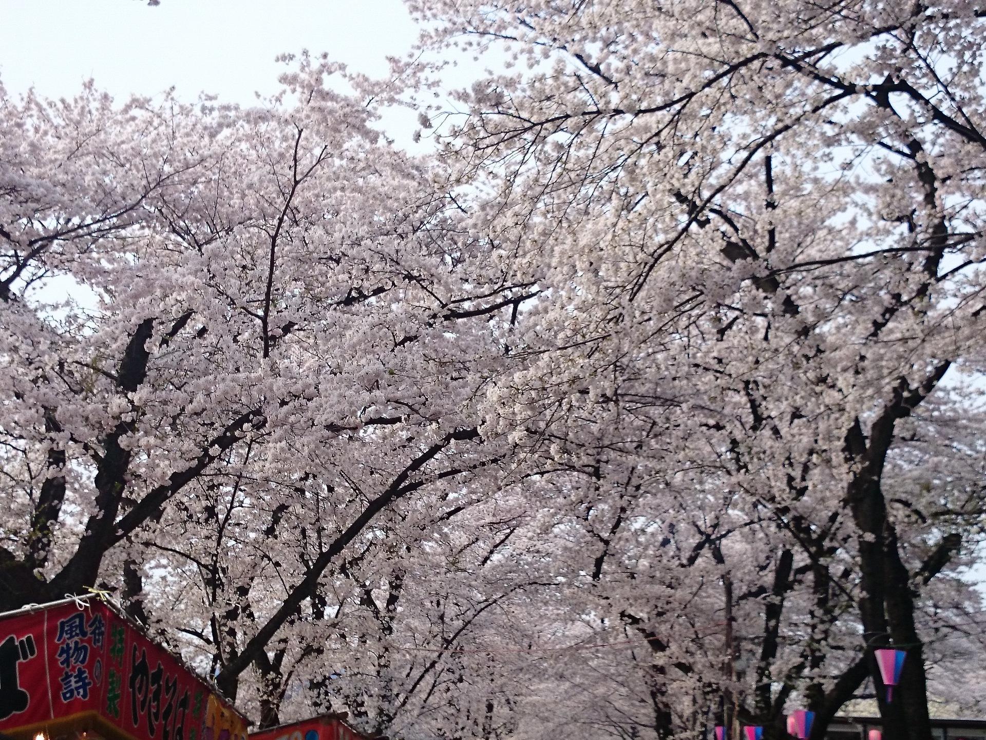 3赤城千本桜.JPG
